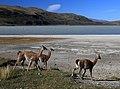 Lamy v národním parku - panoramio.jpg