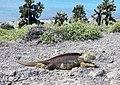 Land Iguana (47938737082).jpg