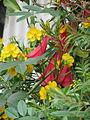Lapageria rosea, & Senna corymbosa (15227440207).jpg