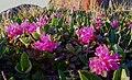 Lapland Rose-bay Rhododendron lapponicum (3696978206).jpg