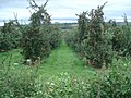Large orchard near Dormington - geograph.org.uk - 567462.jpg