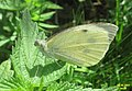 Large white (NHcest) (37895659752).jpg
