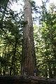 Largest Tree (522818231).jpg