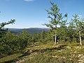 Larix sibirica, Vuktyl, Komi Republic, Russia - panoramio (52).jpg