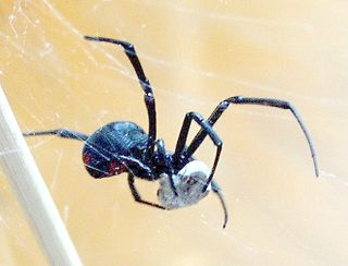 illness caused by the bite of Latrodectus spiders (the black widow spider and related species)