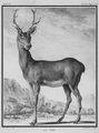 Le cerf - Stag - Gallica - ark 12148-btv1b2300253d-f11.png