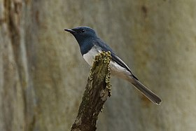 Leaden Flycatcher - Cairns - Queensland S4E8293 (22199721059).jpg