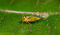 Leafhopper from Ecuador (17715277581).jpg