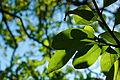 Leaves (3038546901).jpg