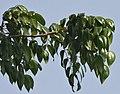 Leaves I IMG 6237.jpg