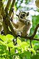Lemur (41451964594).jpg