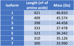 Alpha-tubulin N-acetyltransferase - Length and mass of ATAT1's isoforms