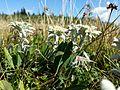 Leontopodium alpinum subsp. alpinum sl5.jpg