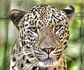 Leopard---Panthera-pardus-saxicolor---Face---(Gentry).jpg