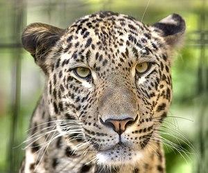 Face of Panthera pardus saxicolor