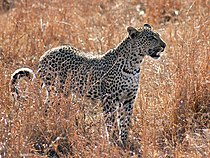 Leopard by Rubert Taylor-Price.jpg