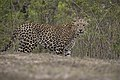 Leopard from Bandipur.jpg