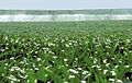 Les Plantes Cultivades. Cereals. Imatge 69.jpg