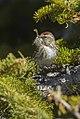 Lesser Redpoll female, Aosta Valley, Italy (14004412861).jpg
