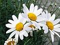 Leucanthemum (45).JPG