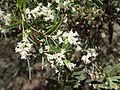 Leucopogon lanceolatus (habit) 02.jpg
