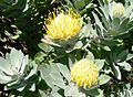 Leucospermum conocarpodendron - Table Mountain 6.JPG