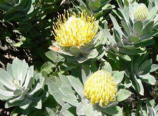 <i>Leucospermum conocarpodendron</i> The tree pincushion is a shrub in the family Proteaceae from the Western Cape of South Africa