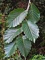 Lewis & Clark foliage.jpg