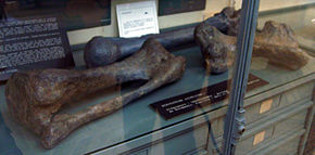 Description de l'image  Image:Lexovisaurus_limb_bones.jpg .