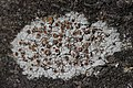 Lichen (28193097897).jpg