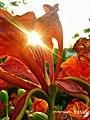 Light Flower (46620402).jpeg
