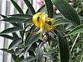 Lilium lijiangense.jpg