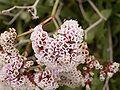 Limonium pectinatum (Los Cancajos) 04 ies.jpg
