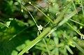 Linum catharticum flowering.jpg