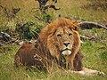 Lions @ Maasai Mara (20792033896).jpg
