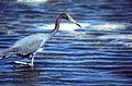 Little Blue Heron (Egretta caerulea) (22008846309).jpg