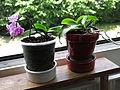 Little orchid D1406.jpg