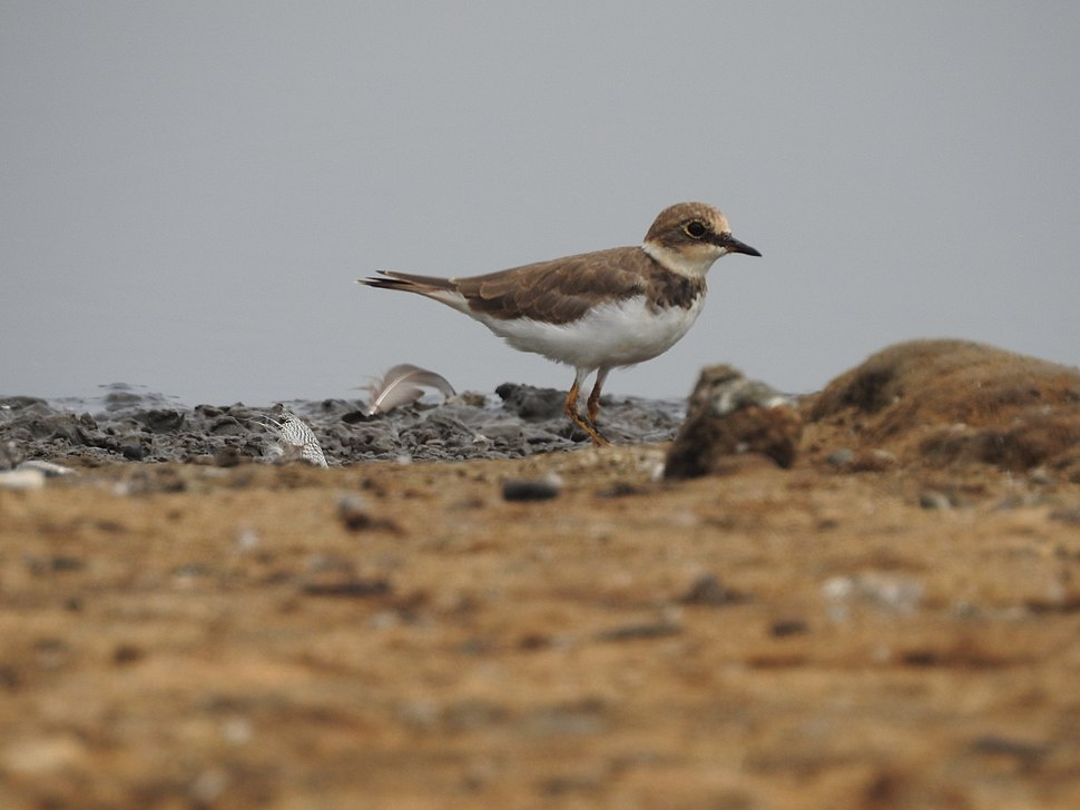 Little ringed plover3