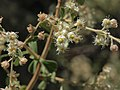 Littleleaf creambush, Holodiscus microphyllus (25326040057).jpg
