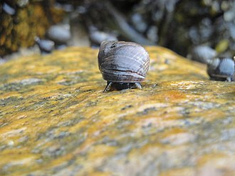 Common periwinkle - L. littorea on the edge of a small sandy beach in Woods Hole, Massachusetts