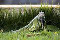 Lizard (16065288226).jpg