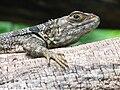 Lizard in Madagascar.jpg
