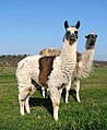 Llama by Priory Farm, St Olaves - geograph.org.uk - 1801618.jpg