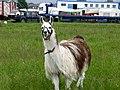 Llama in Walshaw - geograph.org.uk - 463793.jpg