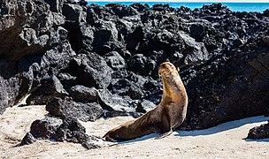 Lobo marino (Zalophus californianus wollebaeki), Cerro Brujo, isla de San Cristóbal, islas Galápagos, Ecuador, 2015-07-24, DD 144.JPG