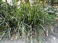 Lomandra longifolia Cairns.JPG