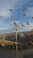 Lomatium nudicaule mature seeds 2.jpg