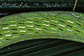 Long-nosed Tree Snake (Ahaetulla nasuta) (7815806582).jpg