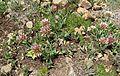 Long-stalked clover (Trifolium longipes) - Flickr - brewbooks.jpg