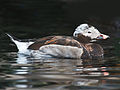 Long-tailed Duck RWD2.jpg